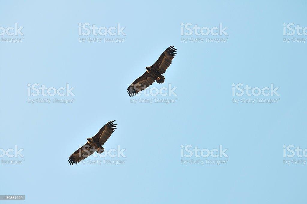 Águia voando - foto de acervo