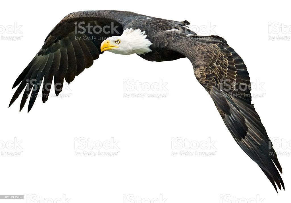 Flying Eagle with clipping path on white background royalty-free stock photo
