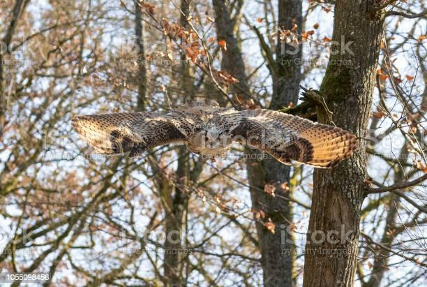 Flying eagleowl picture id1055098456?b=1&k=6&m=1055098456&s=612x612&h=1trurfnsoq7rll7yr10qjcnmavh7oixfmy1gm txigm=