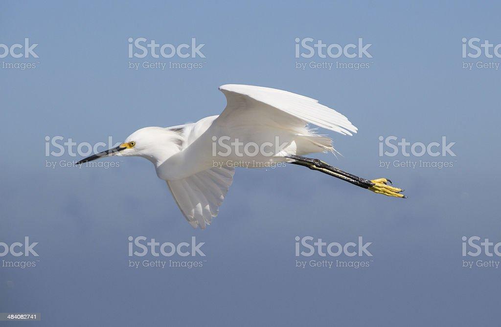 Flying Egret stock photo