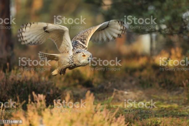 Flying eurasian eagle owl in autumn forest wildlife europebubo bubo picture id1171448818?b=1&k=6&m=1171448818&s=612x612&h=axhwgsjdqcr6my3zianxfaefqxu7l6xprvnfde87hgc=