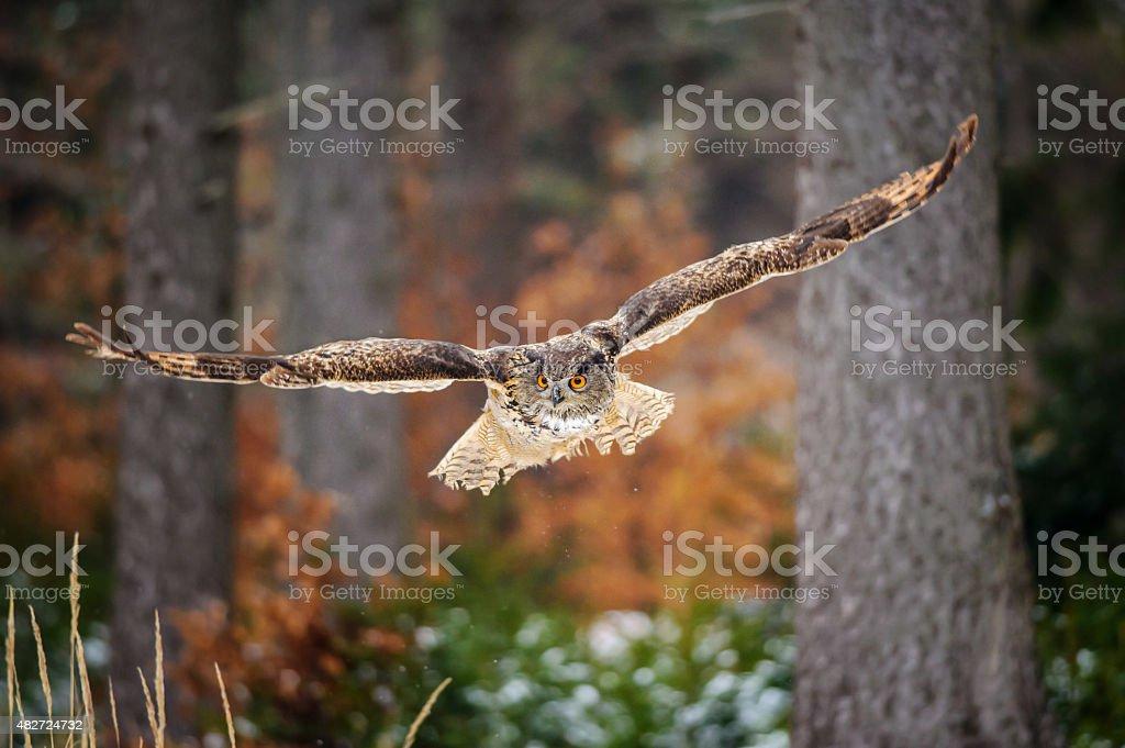 Flying Eurasian Eagle Owl auf colorfull winter forest – Foto