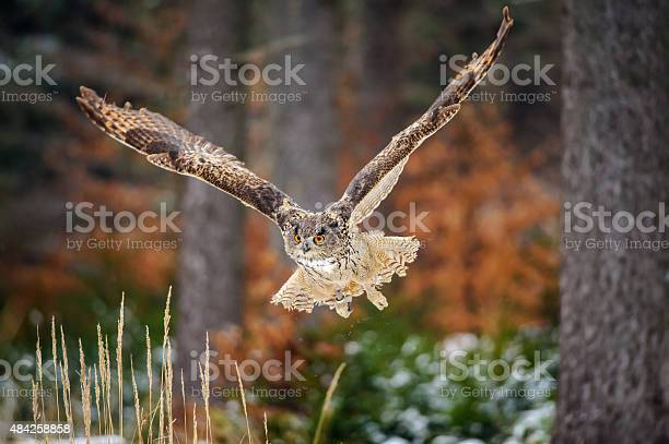 Flying eurasian eagle owl in colorfull winter forest picture id484258858?b=1&k=6&m=484258858&s=612x612&h=jayisxtn6vclubmhmwdgb07imwa6 lhib8fvs64yrng=