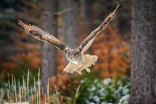 Flying Eurasian Eagle Owl in colorfull winter forest stock photo