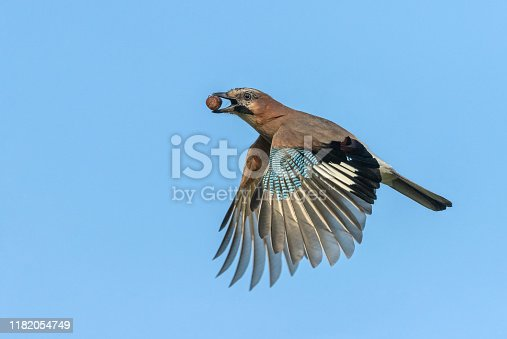 Flying eurasian jay with an acorn against a blue sky.