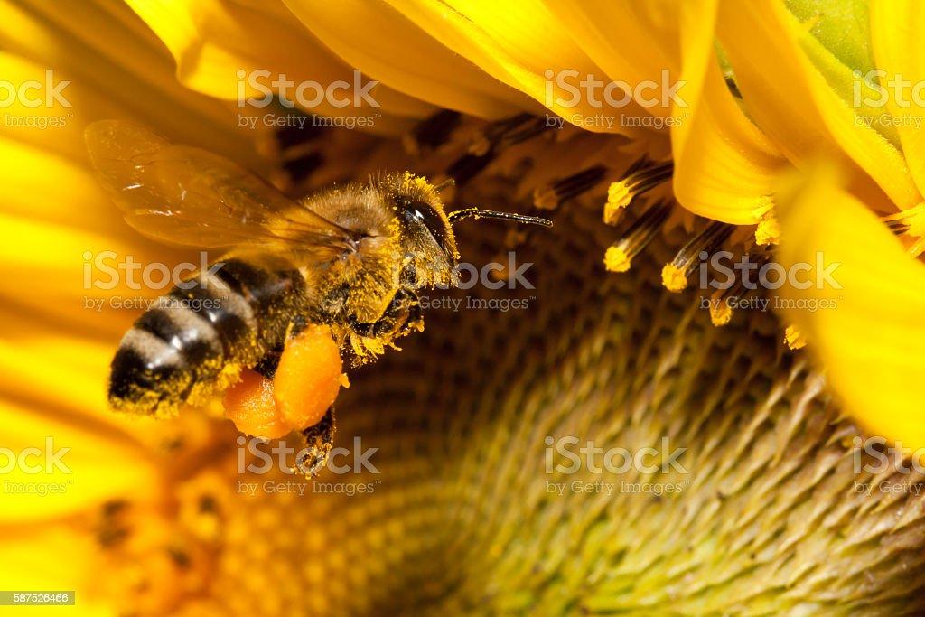 Flying european honey bee stock photo
