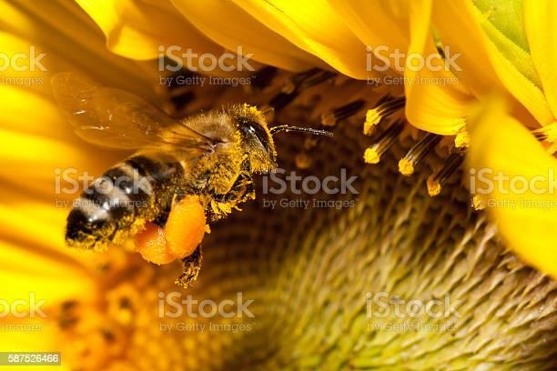 Photo of Flying european honey bee