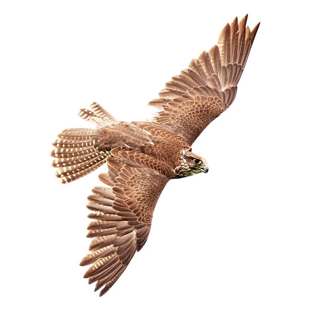 flying falcon on white background - falcon bird stock photos and pictures