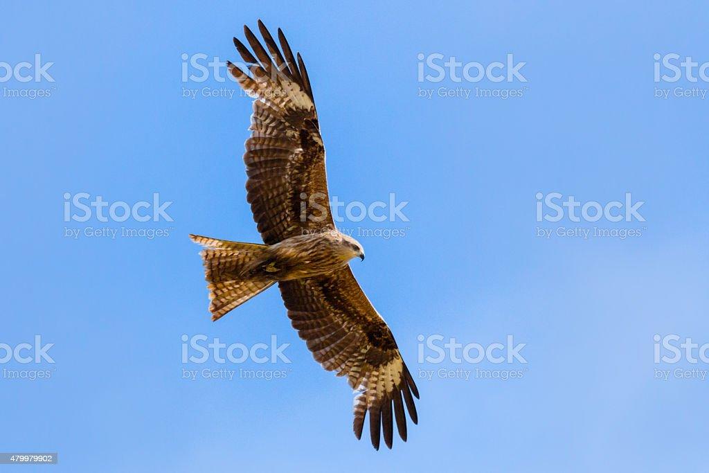 Flying Falcon stock photo