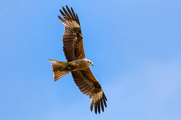 flying falcon - falcon bird stock photos and pictures