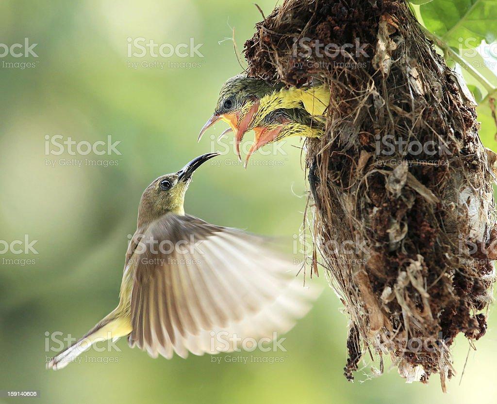 Flying Feeding stock photo