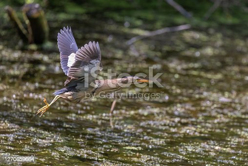 Flying female little bittern (Ixobrychus minutus) in front of a swamp.