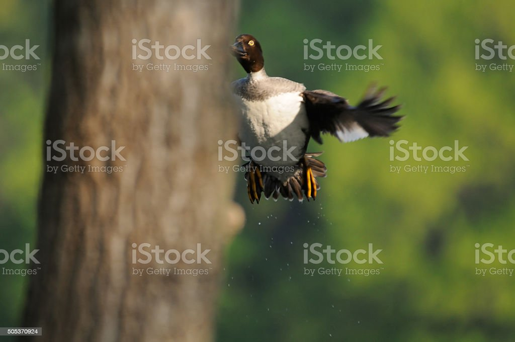 Flying female Goldeneye investigates possible nesting hollow. Moscow,...