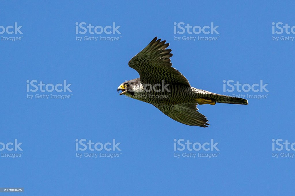 flying female peregrine falcon at sunny day stock photo