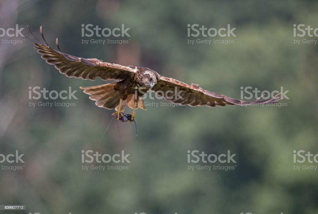 Flying female western marsh harrier (Circus aeruginosus) stock photo