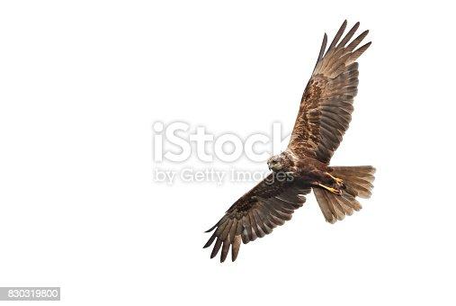 istock Flying female western marsh harrier (Circus aeruginosus) with mouse 830319800