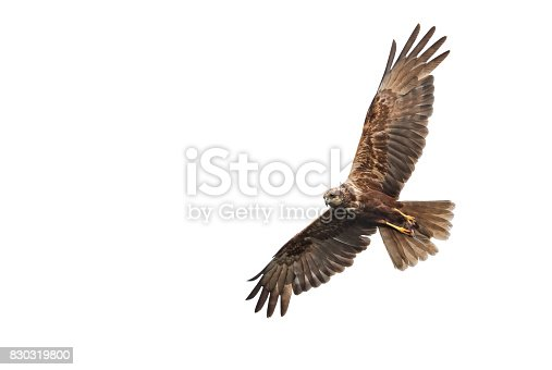 Flying female western marsh harrier (Circus aeruginosus) with mouse against a white background.