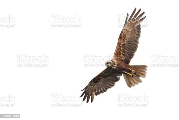 Flying female western marsh harrier with mouse picture id830319800?b=1&k=6&m=830319800&s=612x612&h=rwgojidshlv fvgdaje7recpwhsyweh2mshcyspfewa=