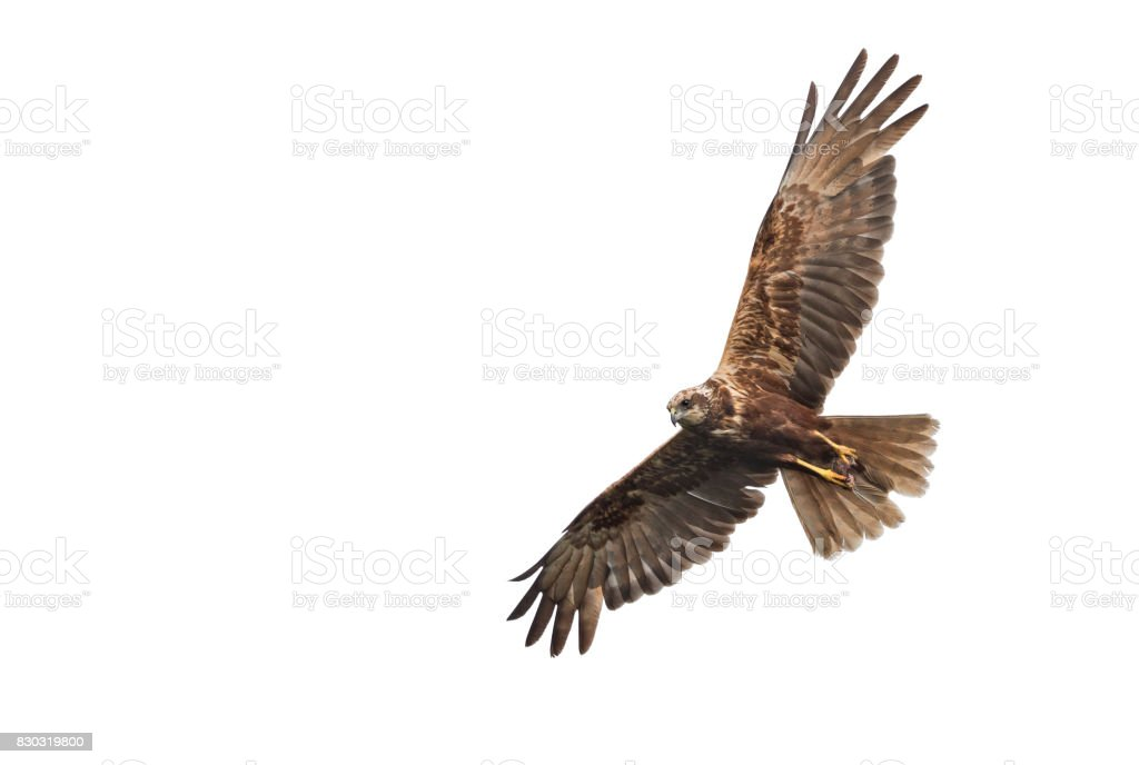 Flying female western marsh harrier (Circus aeruginosus) with mouse stock photo