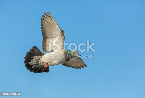 Flying city pigeon (Columba livia domestica) against a blue sky.
