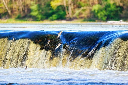Flying fish in Ventas Rumba waterfall in Kuldiga of Latvia
