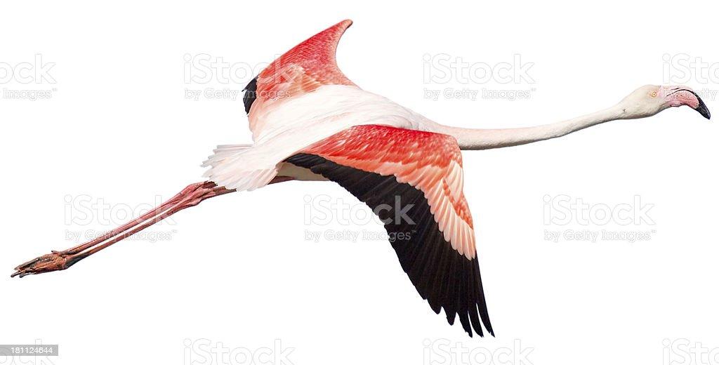 Flying flamingo on white background stock photo