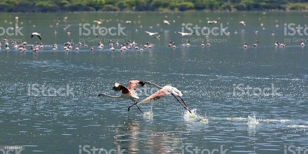 Flying flamingo royalty-free stock photo