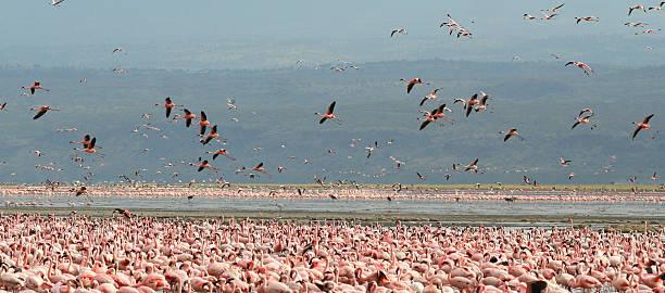 Flying flamingoes, Lake Nakuru, Kenya