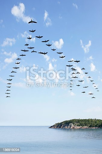 flock of canada geese flying over lake with bright sky, vertical frame (XL)