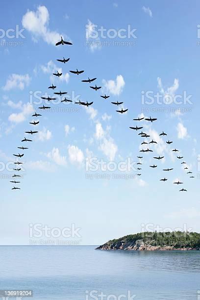 Flying flock of geese picture id136919204?b=1&k=6&m=136919204&s=612x612&h=mtv3c9nz7pfkdu 7xu6m4deemkvhwvf00iga7jnpkna=