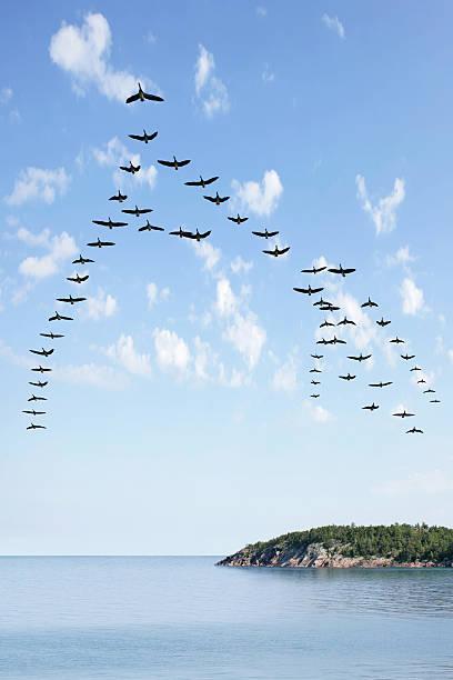 xl flying flock of geese - vogel herfst stockfoto's en -beelden