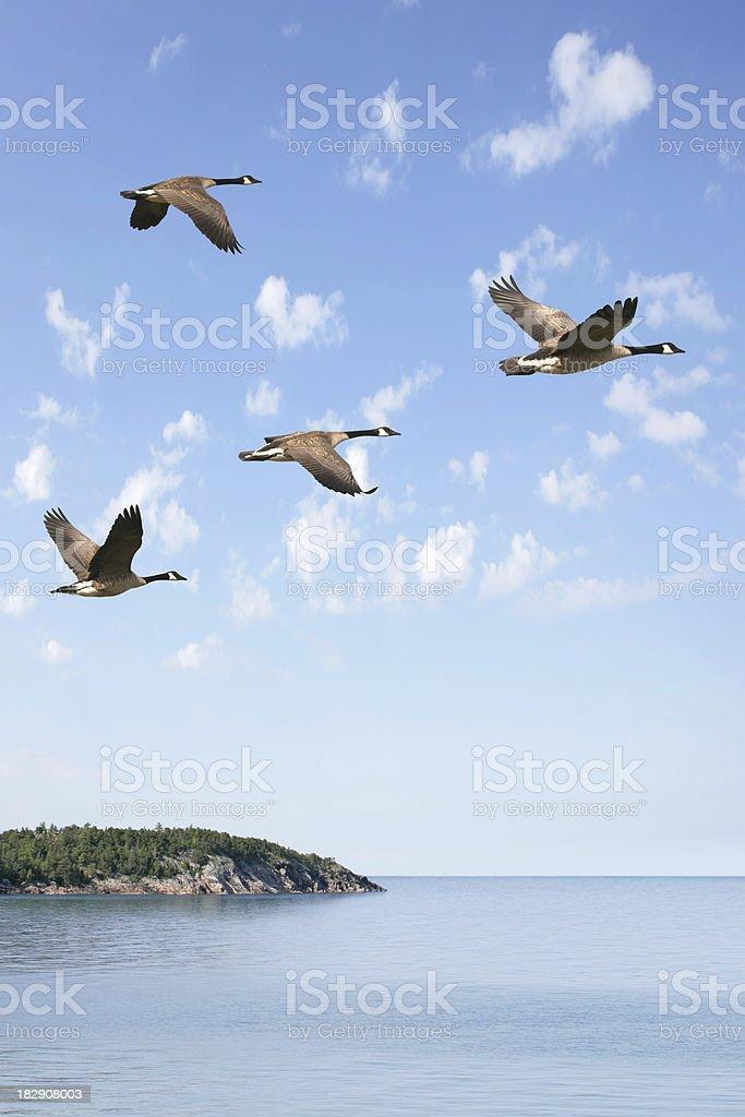 XXXL flying flock of geese stock photo