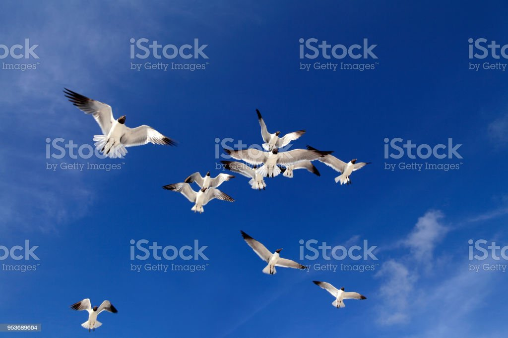 Flying seagulls over blue clear sky in Florida, USA