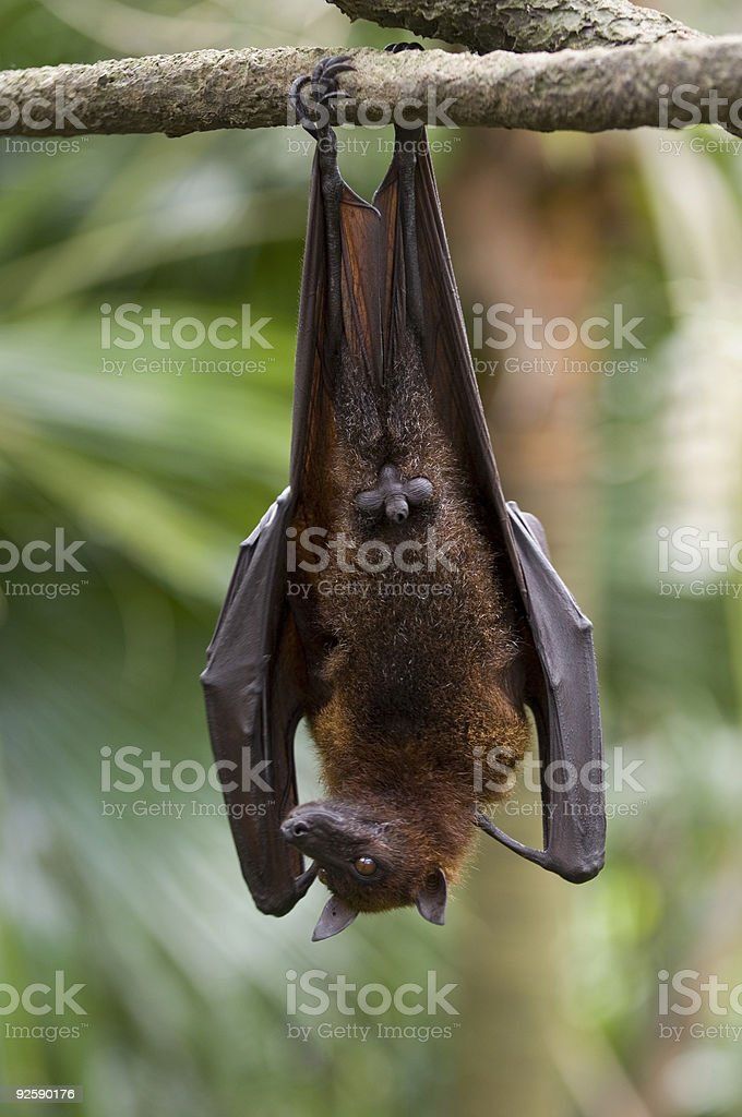 Flying Fox 1 royalty-free stock photo