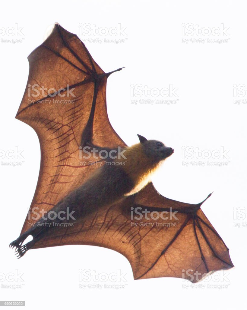 Flying Fox Against a Clear Sky stock photo