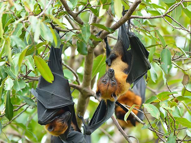 flying fox schläger auf dem baum - tierpenis stock-fotos und bilder