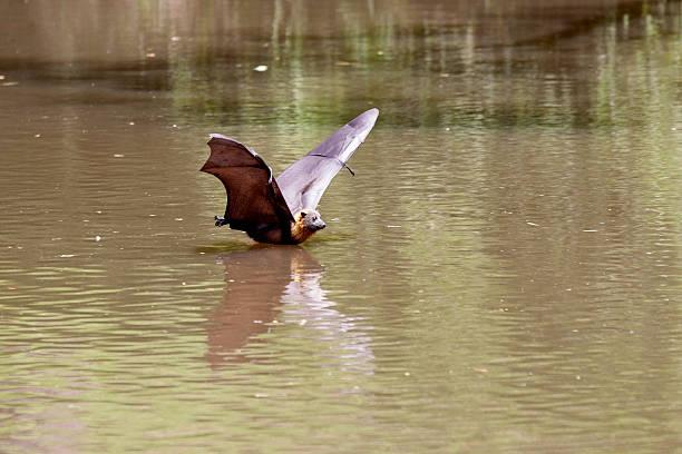 flying fox bat - wasserfledermaus stock-fotos und bilder