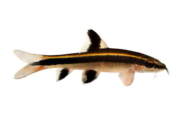 flying fox epalzeorhynchos kalopterus aquarium fisch essende algen - wasserfledermaus stock-fotos und bilder