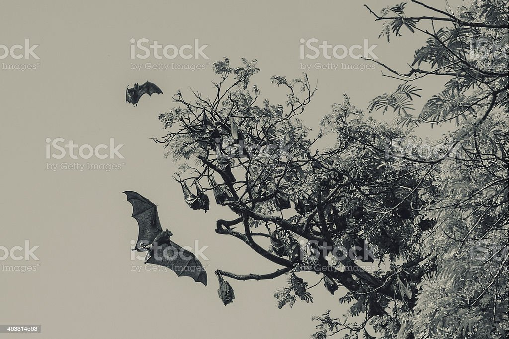 Flying fox flies to a tree stock photo