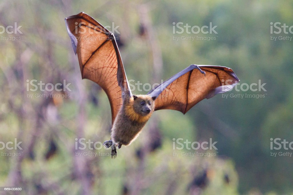 Flying Fox Flying Towards Camera stock photo