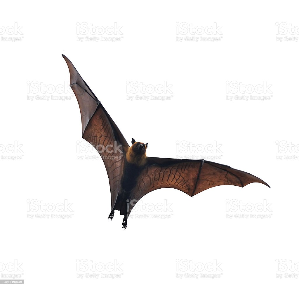 flying fox - huge bat isolated on white background stock photo