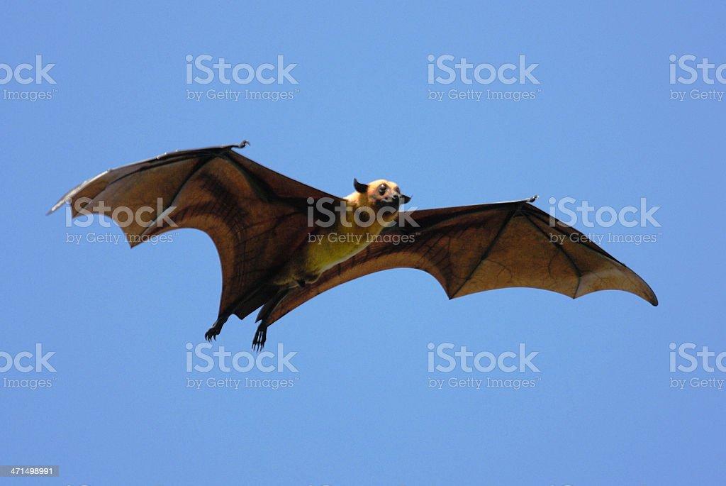 Flying Fox (Pteropus giganteus) in Sri Lanka stock photo