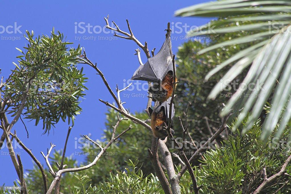 Flying Fox in Sydney royalty-free stock photo