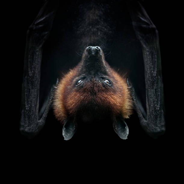 flying fox isolated on black face closeup stock photo