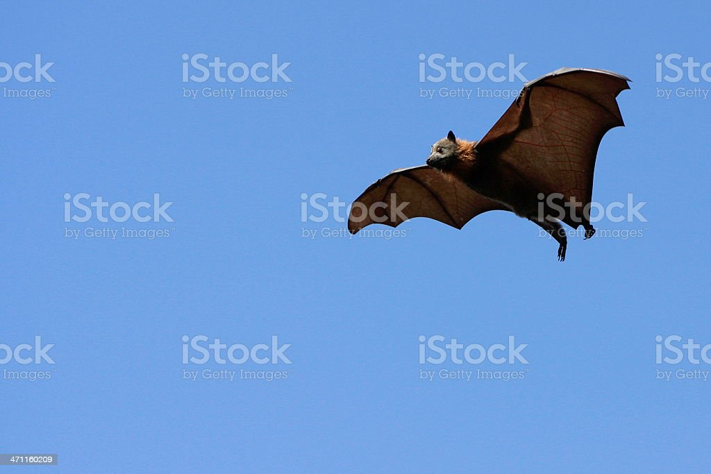 Flying Fox Mid Air royalty-free stock photo