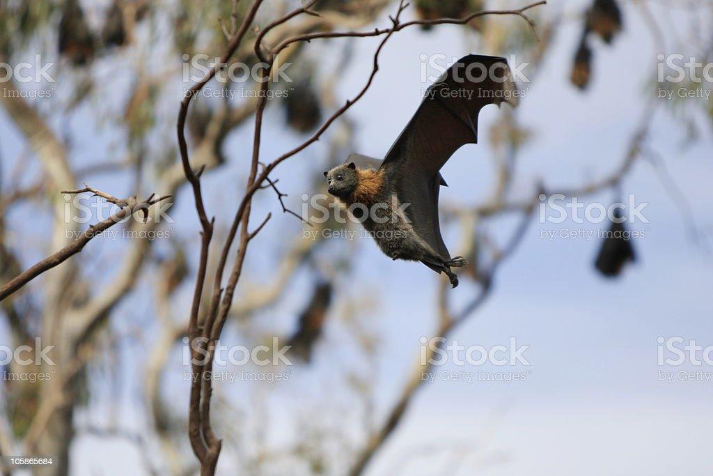 Flying Fox stock photo