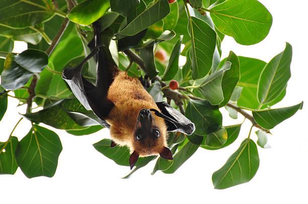 flying fox - wasserfledermaus stock-fotos und bilder