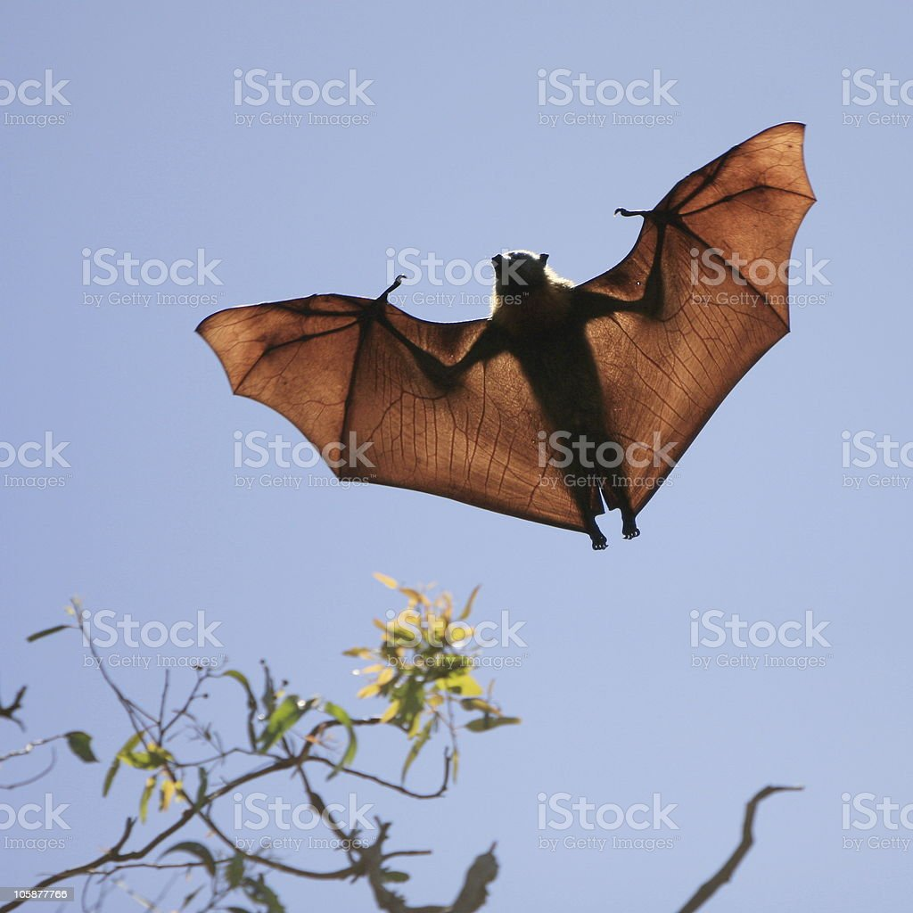 Flying Fox Silhouette stock photo