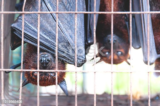 Flying foxes bats upside down in a cage at a market for food and eating, Sumatra, Indonesia