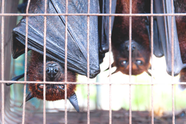 Flying foxes bats upside down in a cage at a market for food, Sumatra, Indonesia stock photo